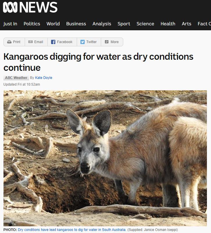 澳洲乾旱,弗林德斯山林的袋鼠挖洞找水喝。取自澳洲廣播公司網站