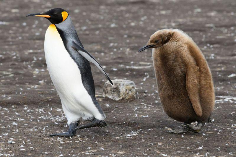國王企鵝的飲食習慣與製造「笑氣」有非常密切的關係。法新社