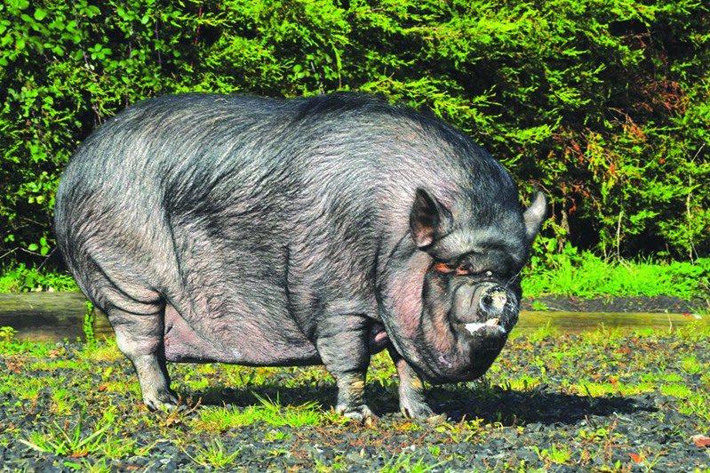 最愛中式外賣薄餅,迷你豬肥190公斤。圖片來源/臉書