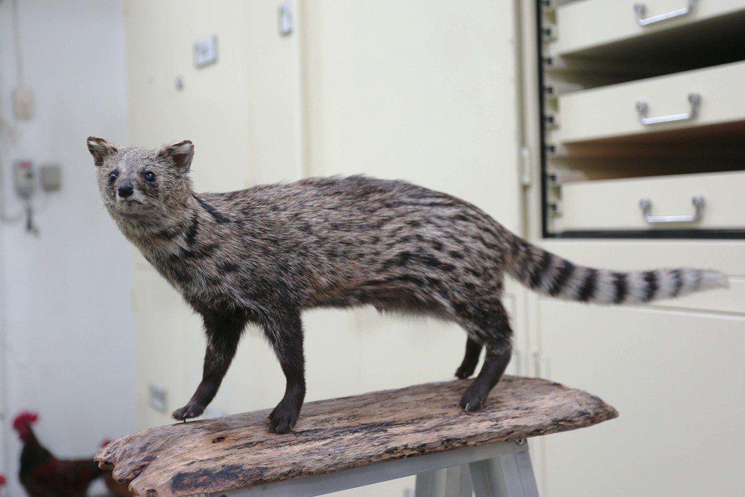 珍貴的麝香貓標本,也是來自路殺社成員的貢獻,成為重要的科研資料。 圖/林洵安社攝...