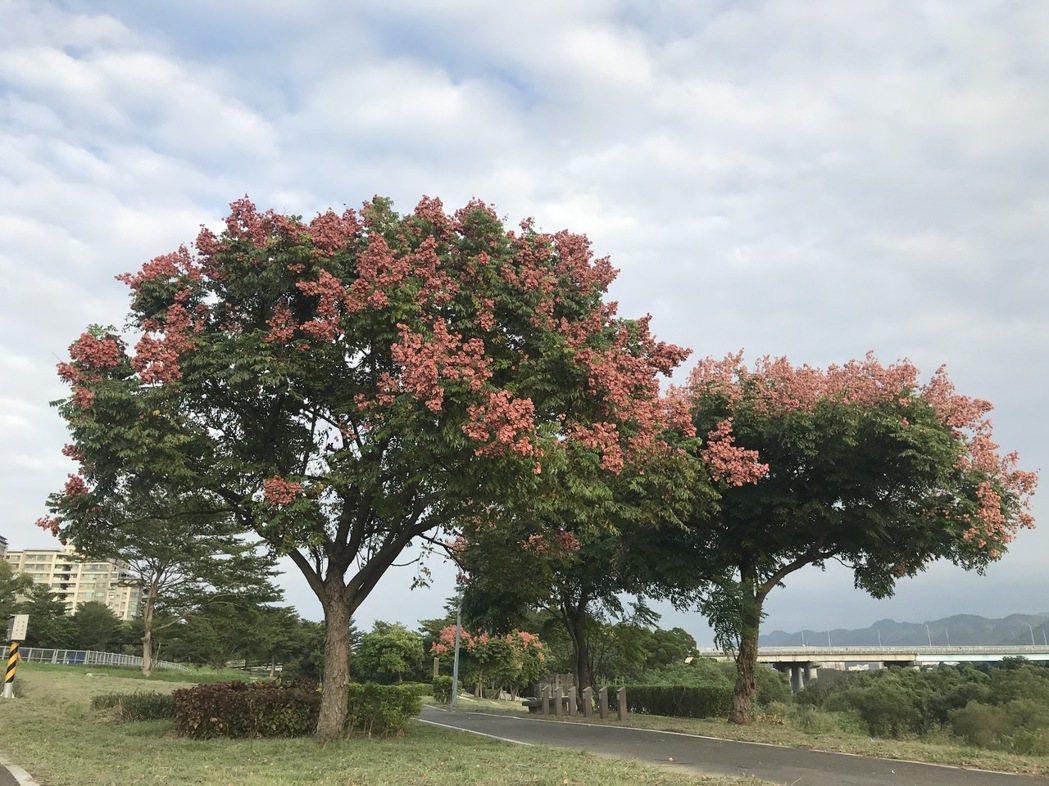 色彩變化多端的台灣欒樹,因紅色氣囊狀的蒴果像一串串紅色燈籠,又被稱為「燈籠樹」。...