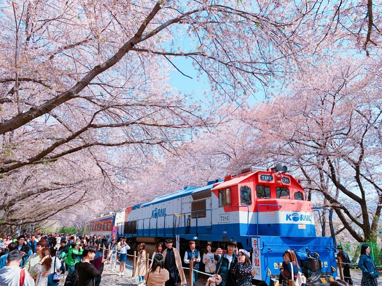 韓國「慶和火車站」粉色櫻花遍佈,吸引旅客爭相合影。記者徐力剛/攝影