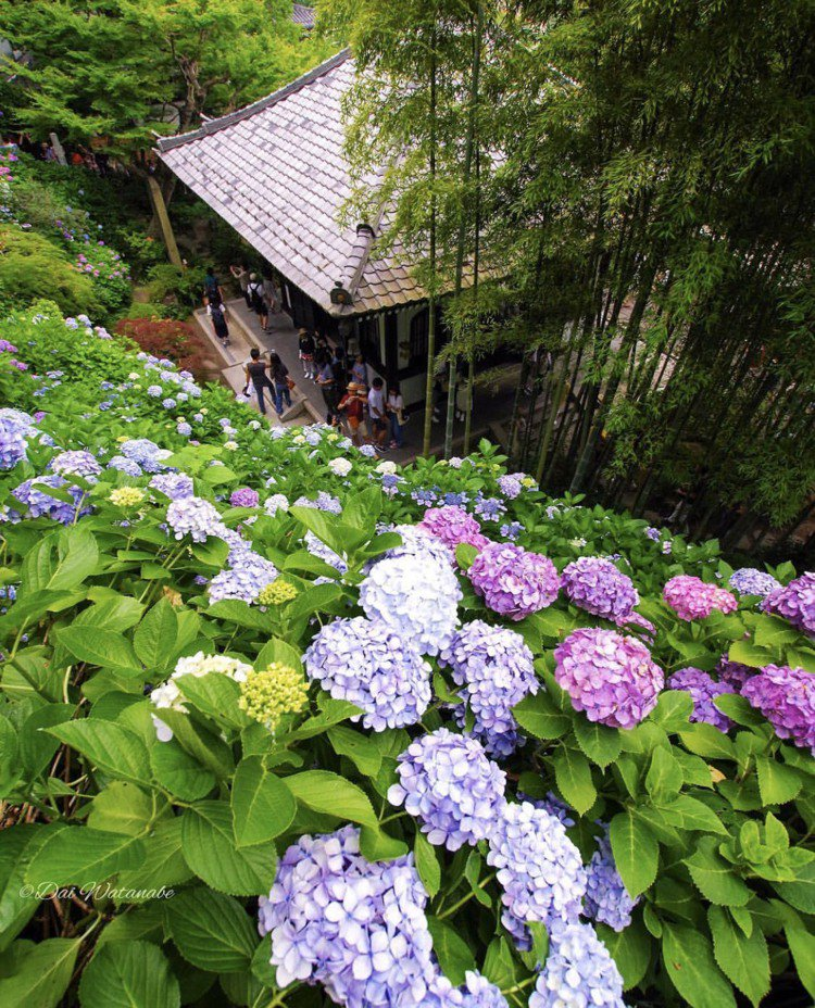 日本鐮倉長谷寺「紫陽花」滿佈,絕美景致令人著迷。圖/取自IG:dai30dai