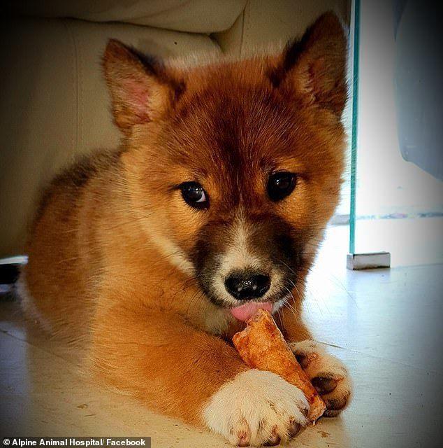 女子分不清萬迪是狗還是狐狸。圖/取自每日郵報