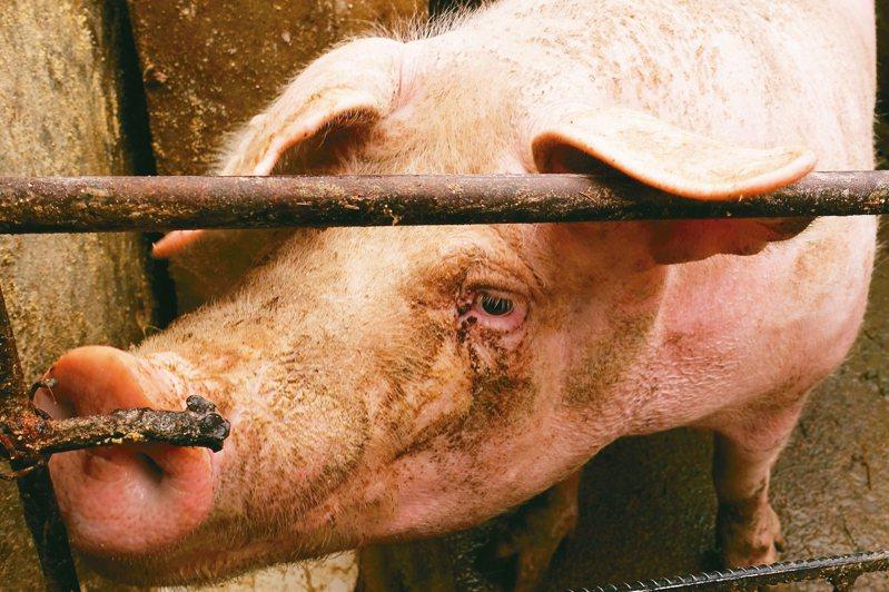 加拿大總理杜魯多宣布,將恢復對中國大陸出口豬肉和牛肉。圖為中國遼寧省一處養豬場。 路透