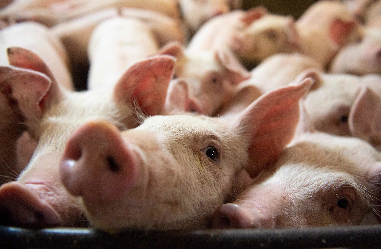 加拿大總理杜魯多5日宣布,中國同意恢復進口加國豬肉及牛肉。法新社