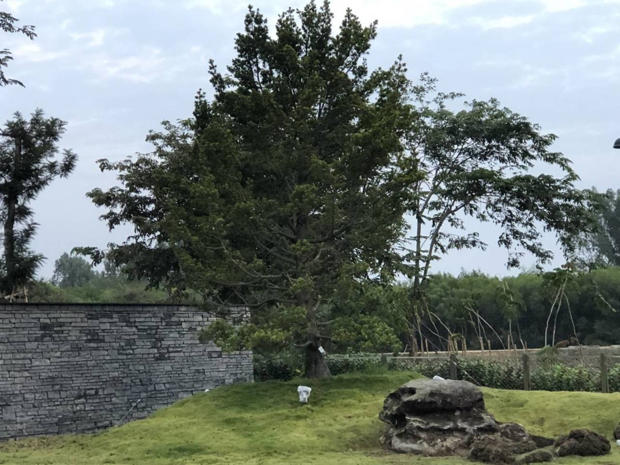 故宮南院在園區綠美化,植栽大棵蘭嶼羅漢松。圖/故宮南院提供