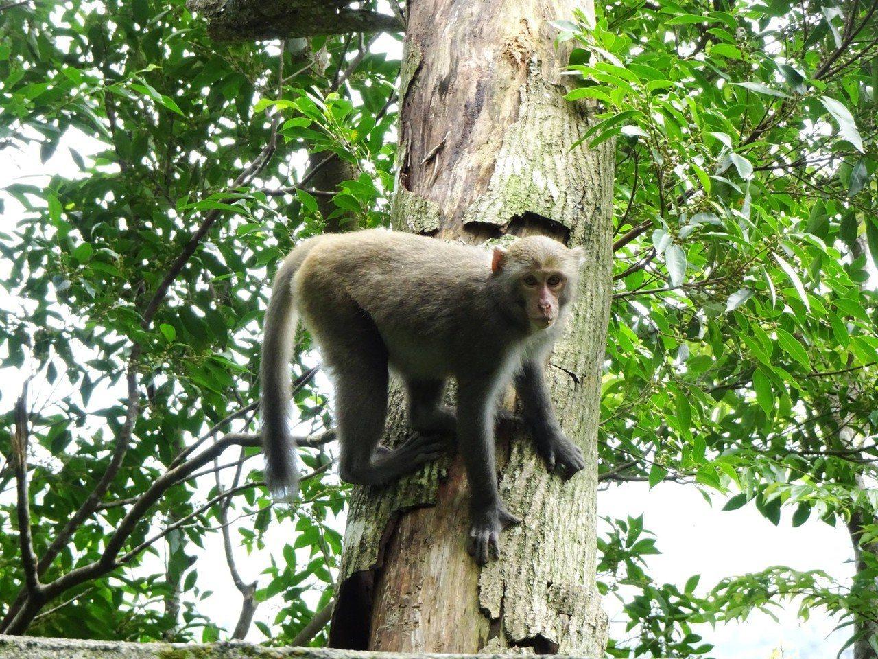「柴山獼猴」群聚山頭,旅客來此需特別注意(示意圖)。圖/林管處提供