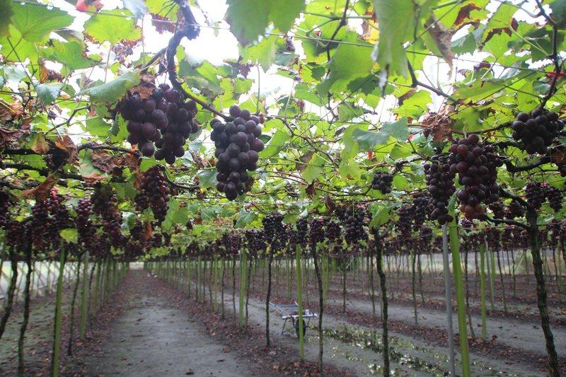 葡萄有補血益氣、生津止咳、健脾利尿的功效,從皮到籽都有營養價值。 圖/本報資料照...