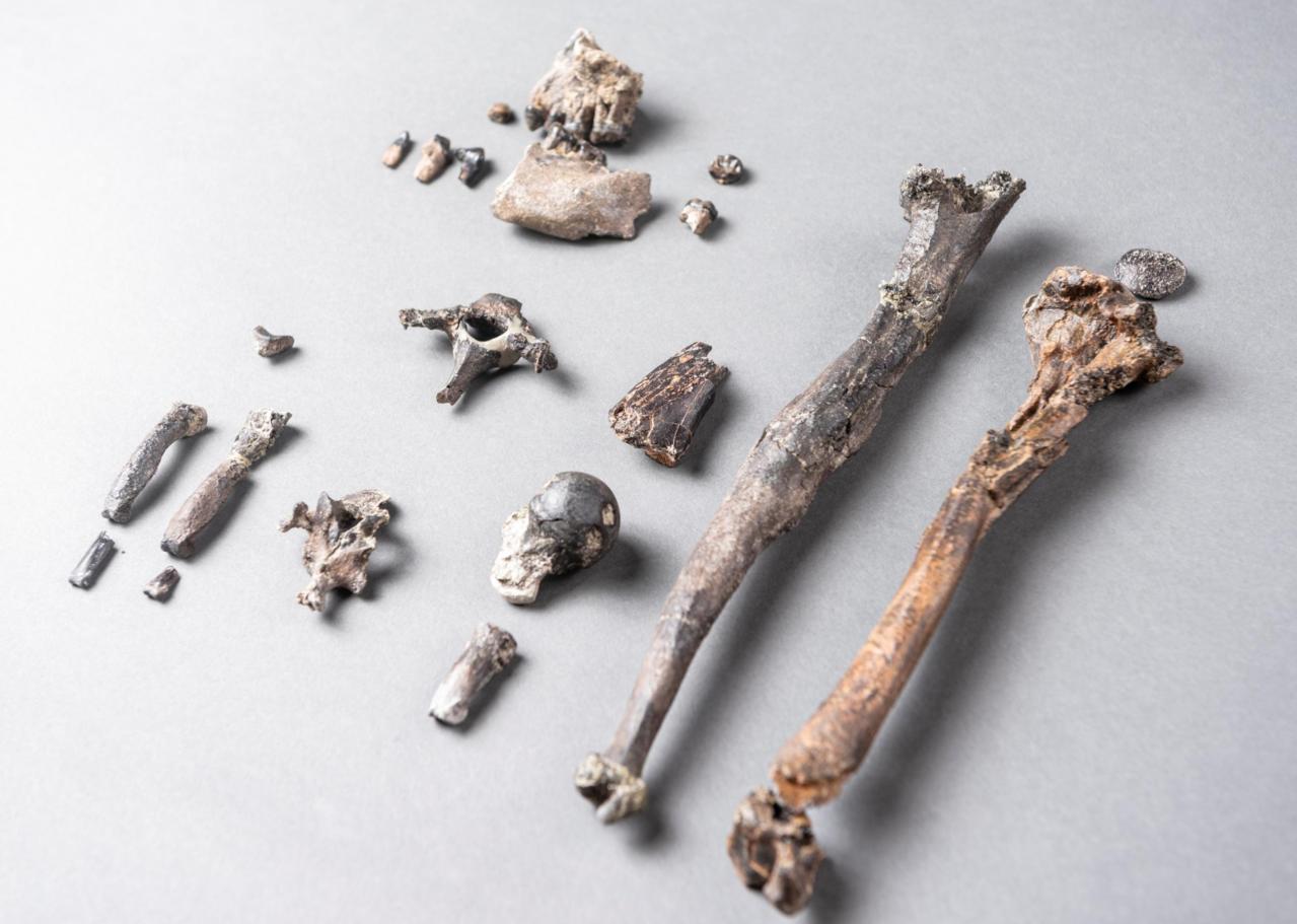 研究人員在德國發現與人類骨骼相似的猿類化石。圖/路透。