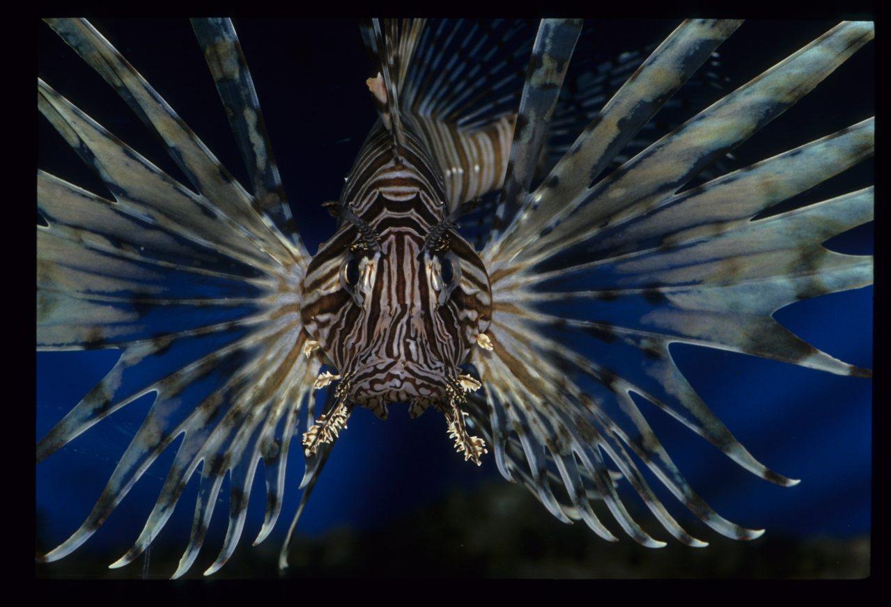 潮境海洋中心有館內研究人員研究與復育成功的海洋生物,圖為獅子魚。圖/海科館提供