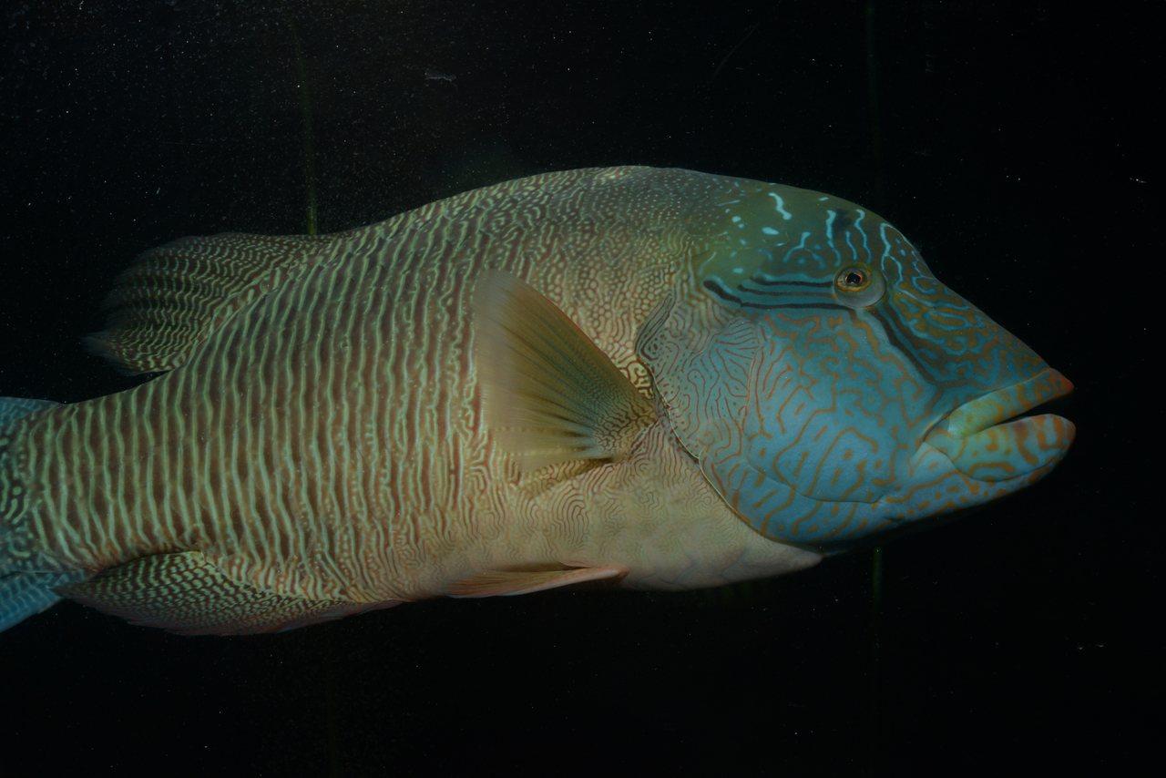 潮境海洋中心有館內研究人員研究與復育成功的海洋生物,圖為國內唯一公開展示的保育魚...