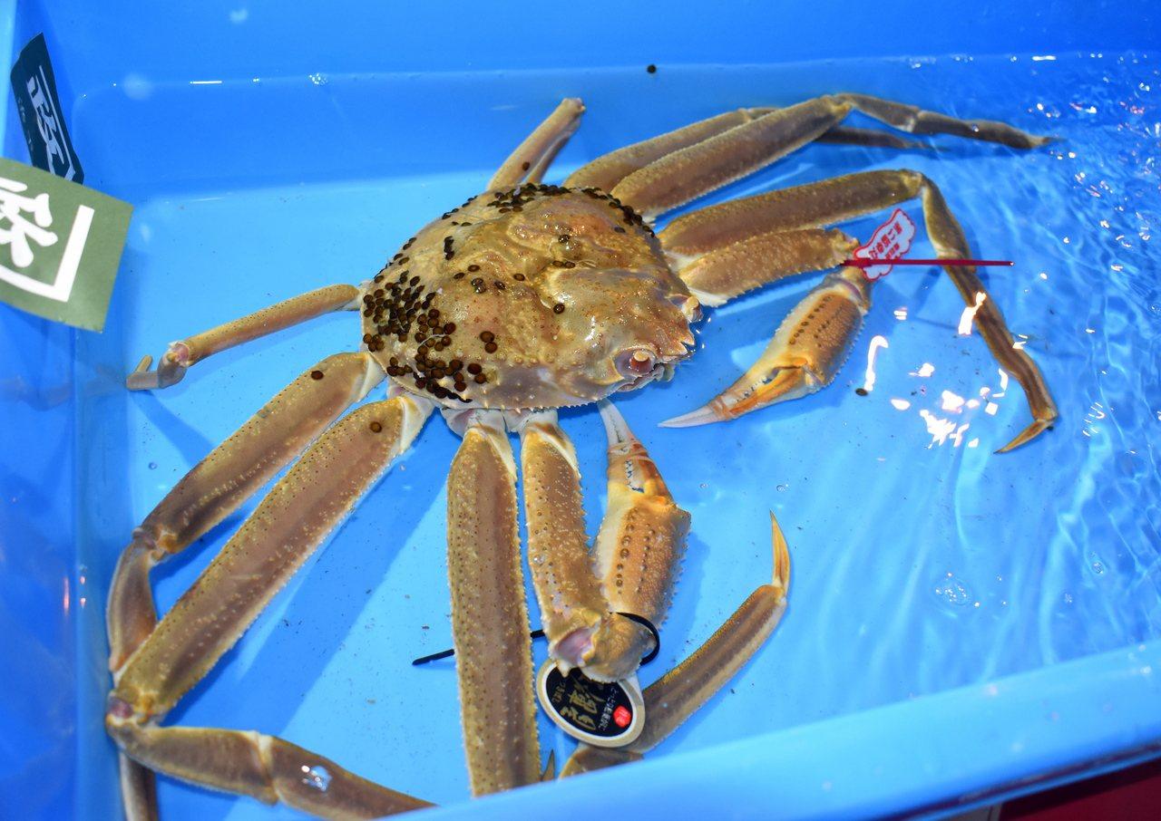 日本松葉蟹季登場 高級品牌蟹一隻500萬日圓拍出 歐新社