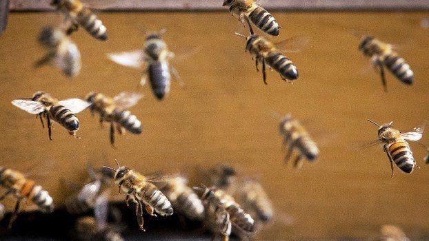 大陸內勤蜂有如殭屍般成群出走蜂巢,集體走向亡命之途。圖/美聯社