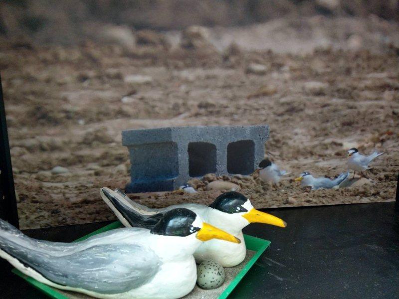 桃園鳥會曾用環保水泥特製假燕鷗,放在沙灘上,吸引真鳥來產卵。 圖/張錦弘攝影