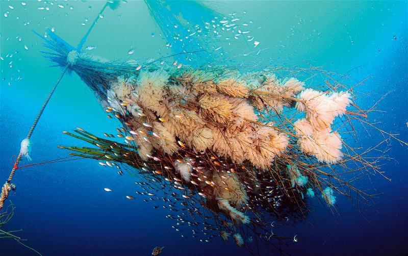 仿效柳珊瑚的桂竹叢人工礁,為軟絲提供隱蔽性的產卵空間,上頭的大量卵莢,證明復育行...