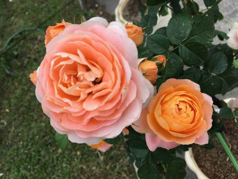 108年度台北玫瑰園的秋季玫瑰展,將在11月9日至11月23日,在花博公園新生園區開展,可欣賞到太陽王陽台(Sun King Terrazza)品種玫瑰。圖/台北市工務局提供