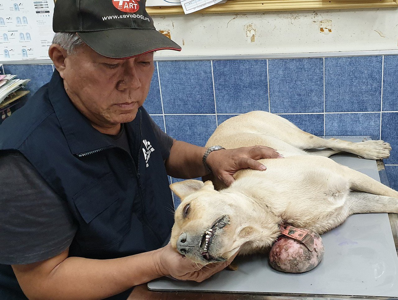 台灣動物緊急救援小組昨天下午獲報營救,獸醫師檢傷後才發現腫瘤是從頸圈的扣環中增生...