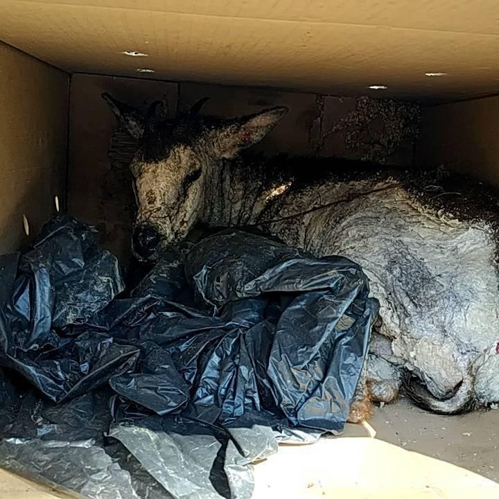 阿里山豐山村民從去年開始常在步道附近看見死亡的長鬃山羊,且屍體上多有疥癬蟲感染的...
