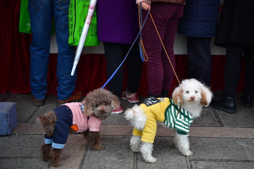 杭州曾規定養狗民眾,每天早上7點到晚上7點禁止遛狗。  (中新社)