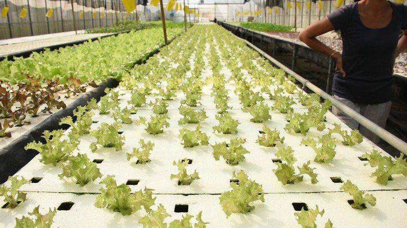 水耕蔬菜是新型的蔬菜種植方式,占地較水耕蔬菜小。記者陳玫伶/攝影