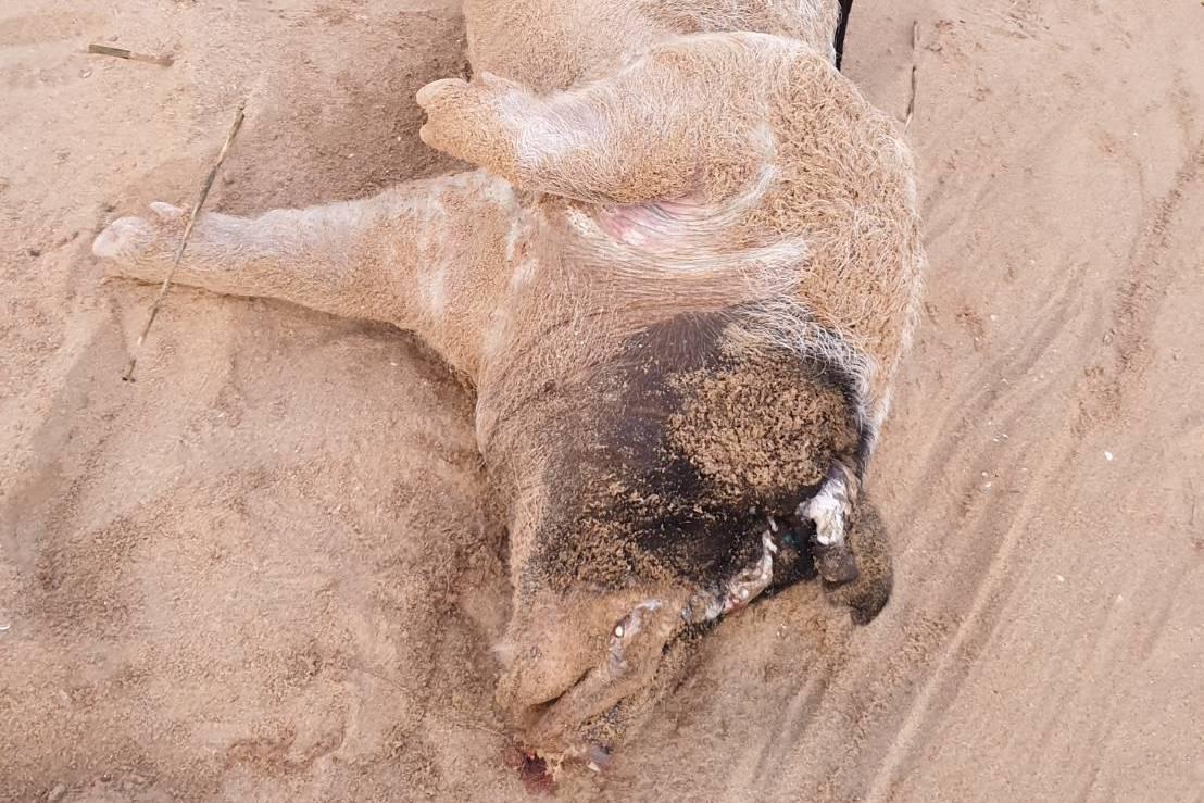 金門烈嶼將軍堡海灘漂對岸豬屍 檢出非洲豬瘟