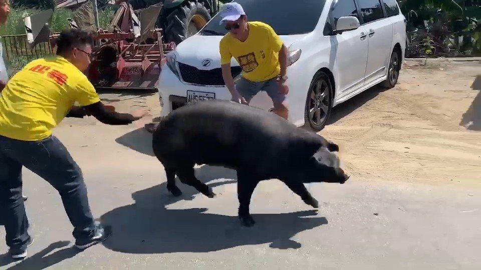 熱情村民今天贈送一隻100多公斤的活豬給林國慶,希望林國慶能為農民爭取福利。圖/...