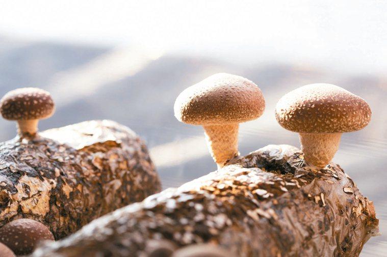 菇類目前栽培的方式若以栽培介質區分,主要可分為段木栽培、堆肥栽培、木屑太空包或瓶...