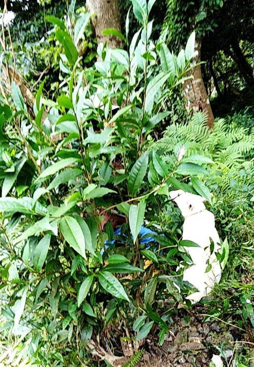 農委會茶改場台東分場將泰平山區的野生茶樹,馴化選育成台茶24號新品種。記者羅紹平...