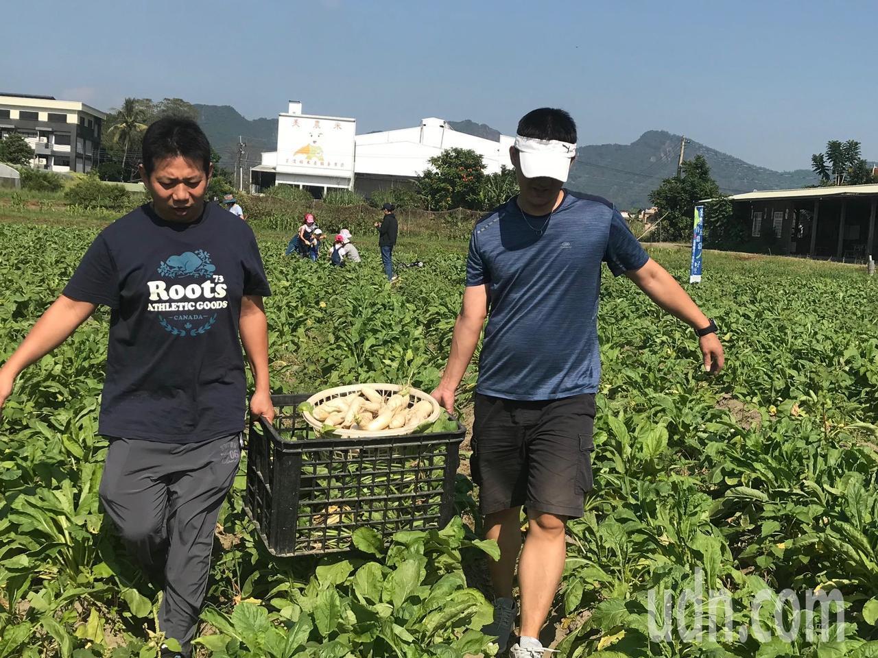 今年白玉蘿蔔成長順利,遊客將採收好的蘿蔔抬出農地。記者徐白櫻/攝影