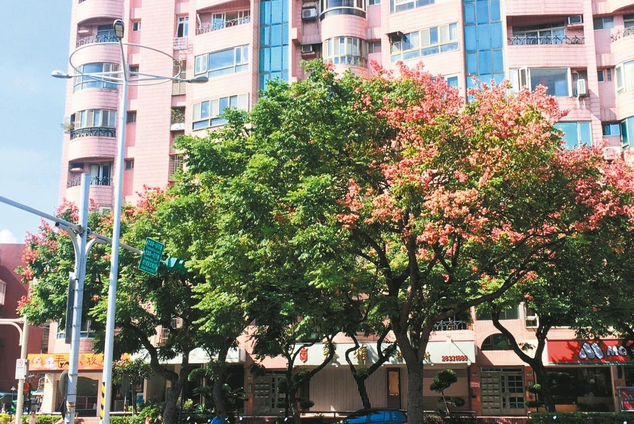台北市天母忠誠路段人行道樹,同棵欒樹右半邊正常開花結果,但左半邊每晚被路燈照射,...