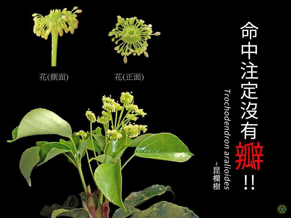 昆欄樹無瓣花,只能靠著雄、雌蕊招蜂引蝶,因此「命中註定沒有瓣」;青楓,則是身邊的...