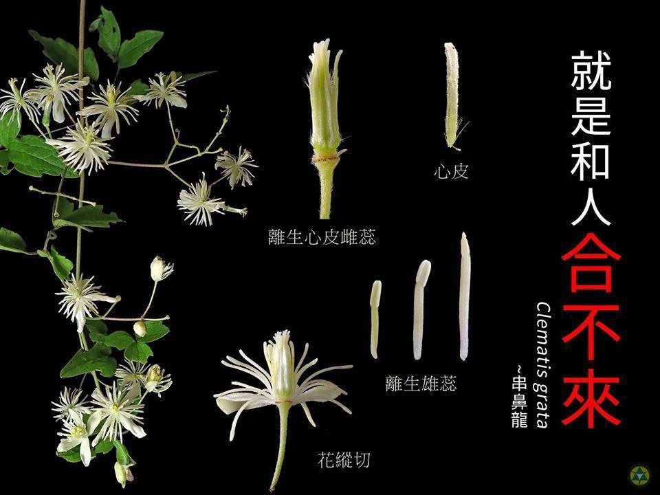 串鼻龍,「就是和人「合不來」」,主要是因為串鼻龍是毛茛科,花被、雄蕊及心皮都離生...