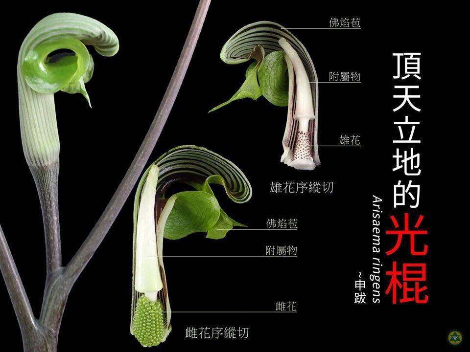 申跋,是「頂天立地的「光棍」,主要是因為,申跋的花序先端具有光滑、棍棒狀的附屬物...