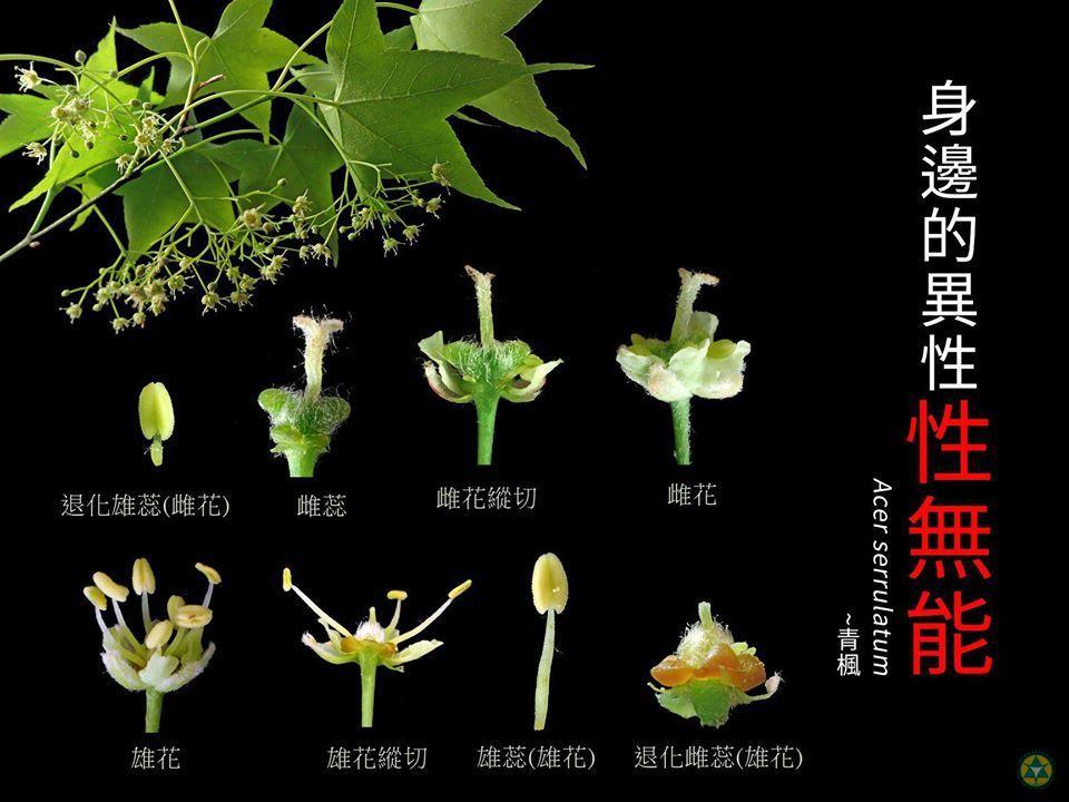 青楓,身邊的異性「性無能」,主要是因為青楓為單性花,每朵花中仍保有完整的雄、雌蕊...