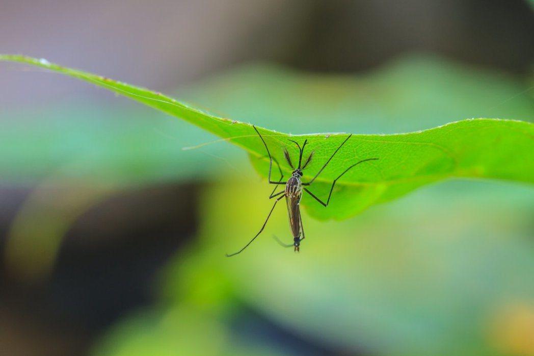 白線斑蚊是傳播登革熱的病媒蚊。圖/聯合報系資料照片