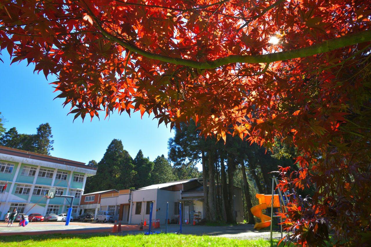 香林國小楓葉紅了,搭配藍天綠地淡彩素色校舍,讓人看見阿里山之美。 圖/黃源明提供