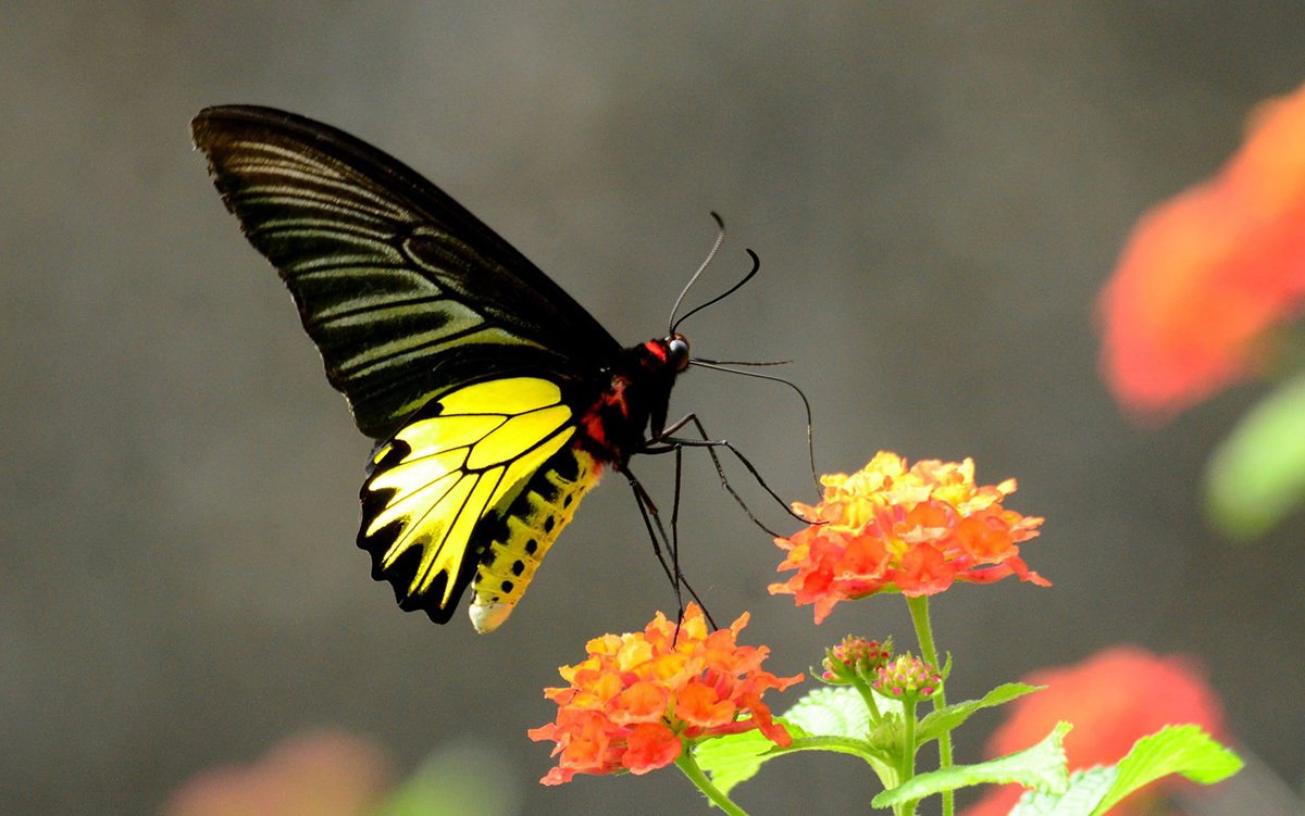 亞泥生態園區內成功營造黃裳鳳蝶的棲地,是養蝶人最大的驕傲。圖/亞泥生態園區 提供