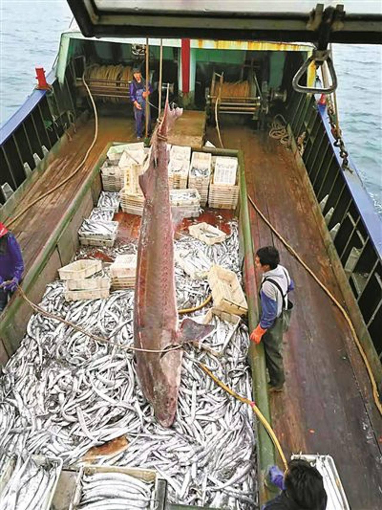 漁民撈起中華鱘後,發現其狀況非常良好,表面未見有損傷。圖/取自微博