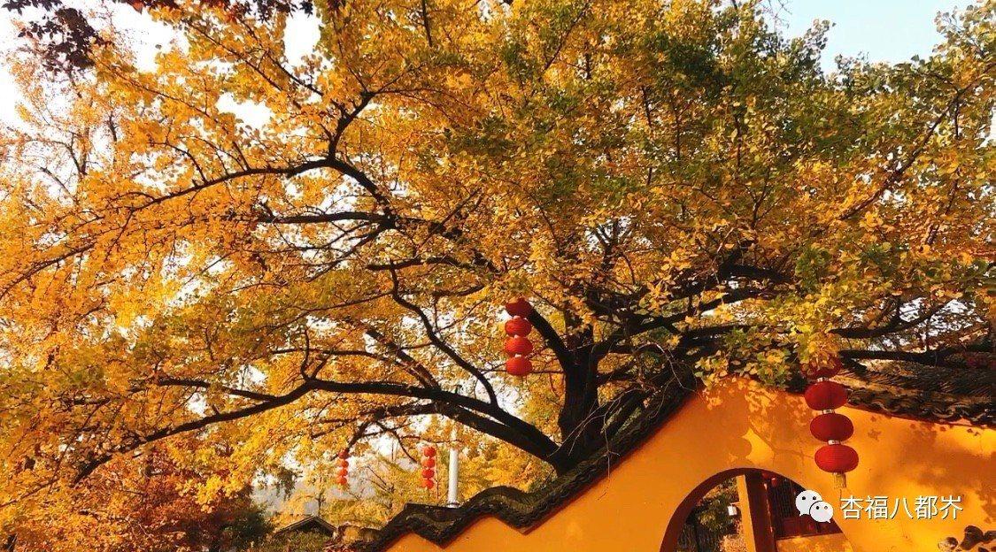 長興銀杏。圖/小浦鎮旅遊官微公眾號「杏福八都岕」