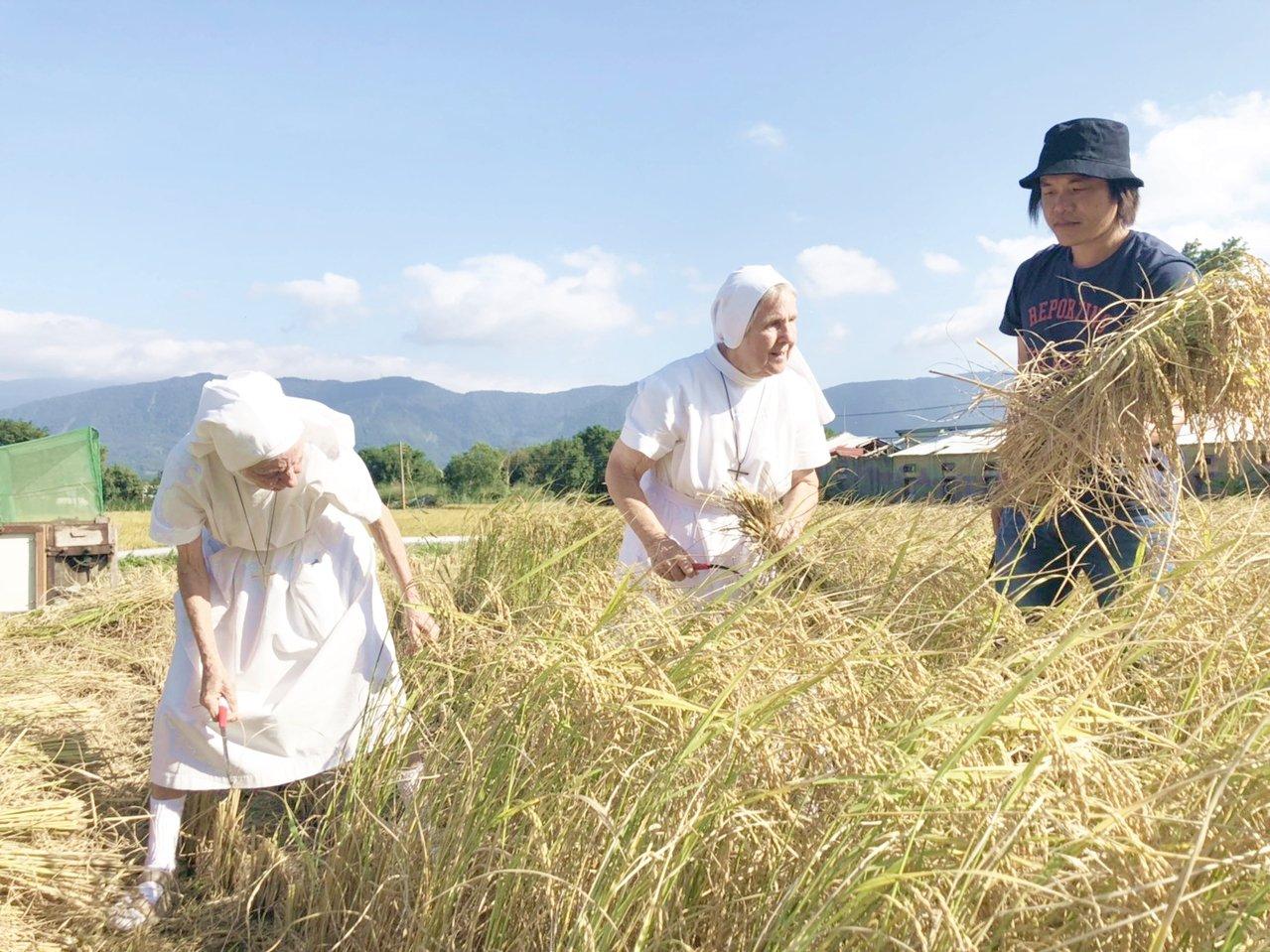 關山鎮聖十字療養院瑞士籍修女饒培德(左起)、馬惠仁在青農魏瑞廷陪同下體驗割稻,畫...