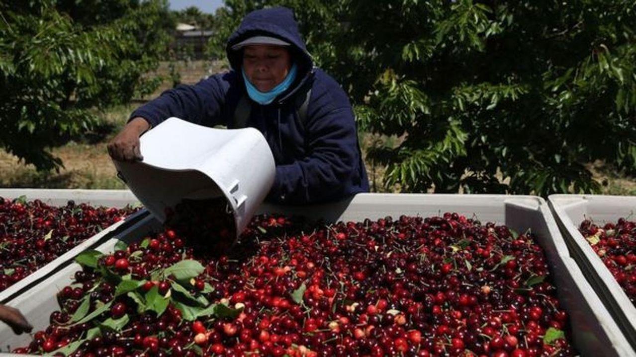五年前,皮特.維爾布魯格的水果公司就在一次預售中賣掉108噸美國櫻桃,相當於10...