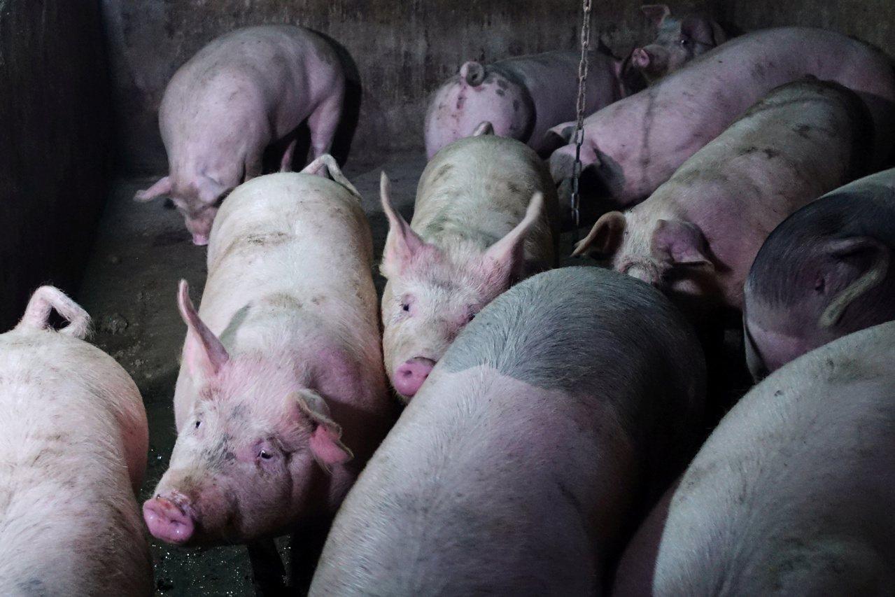 中國疑再現非洲豬瘟疫情。 路透社