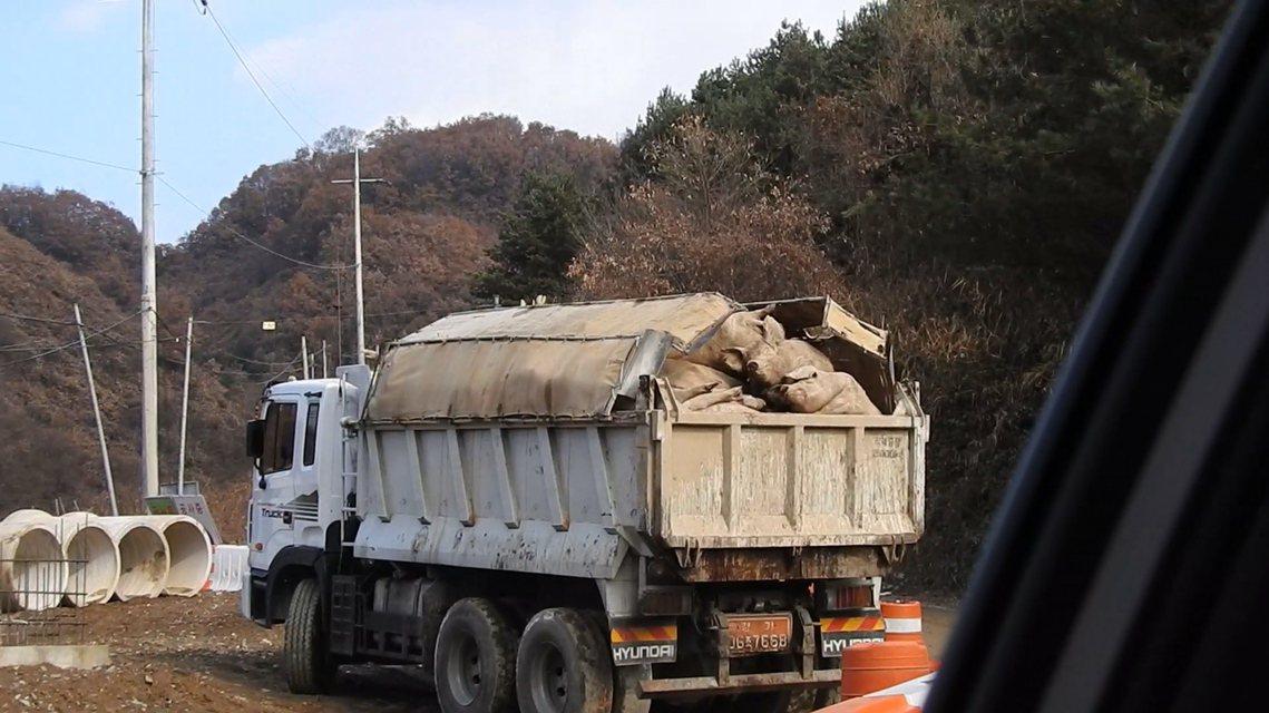 事發當地的漣川郡政府強調,這批滲入河川的豬血,都是經過處理、健康且未帶原非洲豬瘟...
