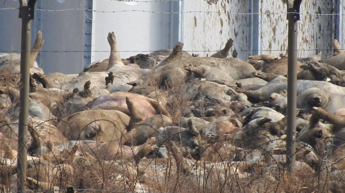 《韓民族日報》報導,汙染臨津江的4萬7,000頭死豬,都是在這個周末「壓線撲殺」...
