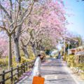 IG爆紅景點「粉紅河堤」!美人樹隧道讓你一秒走進韓劇場景