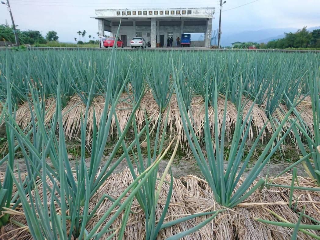 三星蔥全國聞名,質好價高,三星地區農會更發現,因產量減少,蔥價衝高,今天一公斤均...