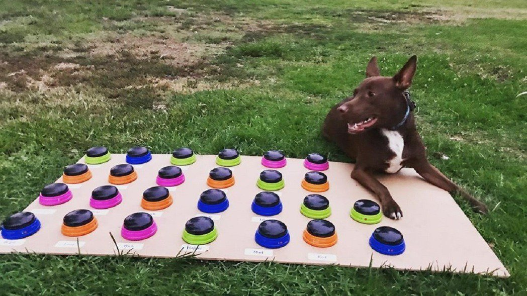 美國一位語言治療師將專長套用到狗狗身上,自製一套特別發聲板,用一年半時間教會狗狗...