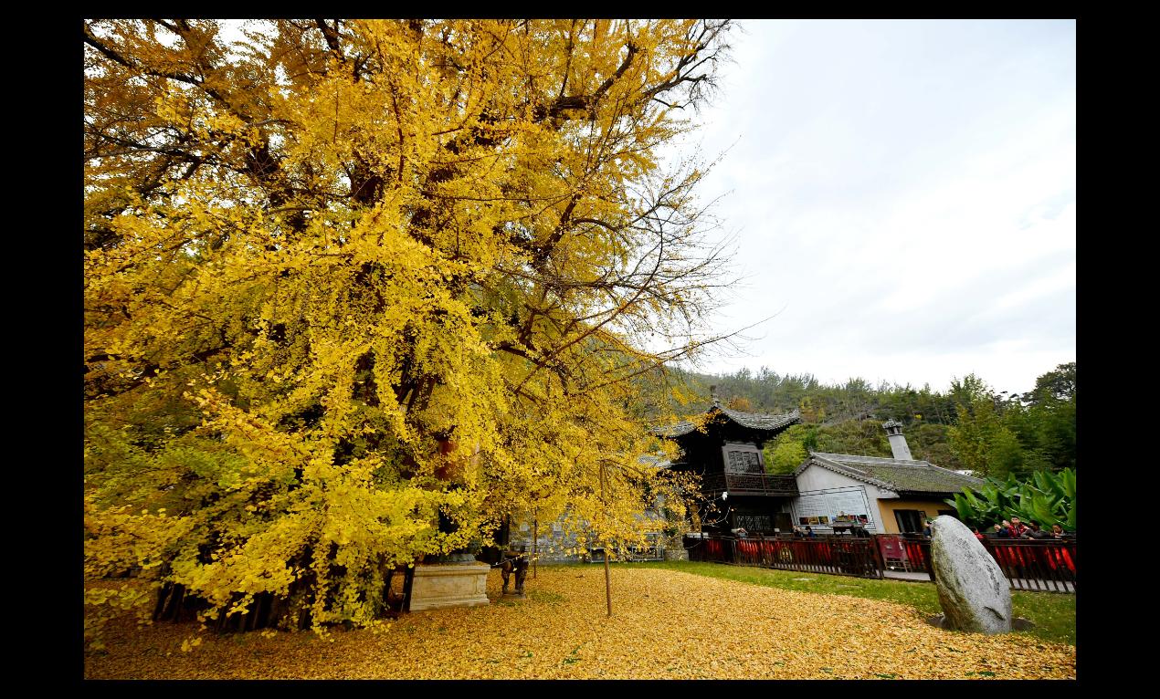 西安這顆紅到海外的銀杏,據稱是唐太宗李世民親手栽種。(新華社)