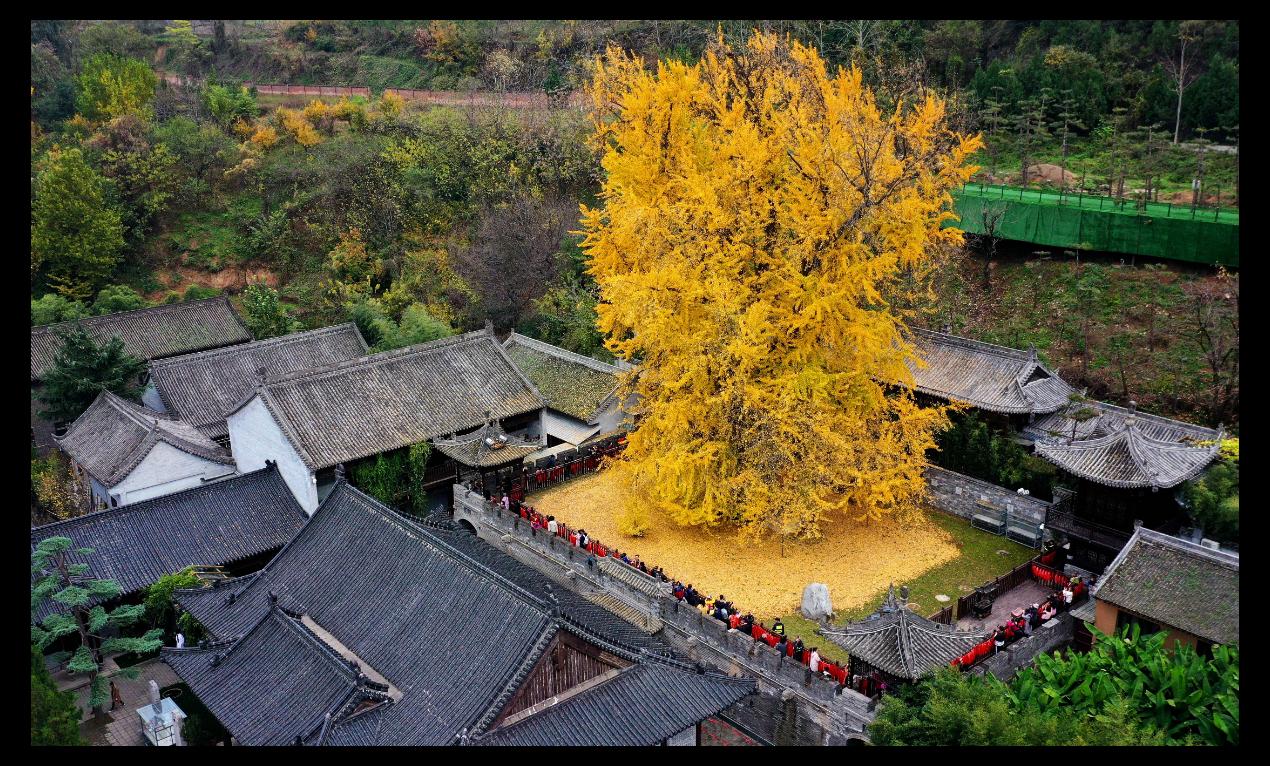 西安終南山古觀音禪寺內的千年銀杏已滿樹金黃,落葉鋪地宛如金毯。(新華社)